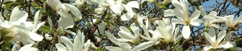 kobushi-magnolie-bluete-weiss-magnolia-kobus