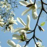 Magnolie Magnolia 03