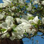 Magnolie Magnolia 04