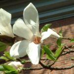 Magnolie Magnolia 05