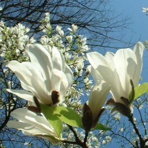 Magnolie Magnolia 06