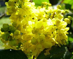 Mahonie Bluete gelb Mahonia aquifolium 01