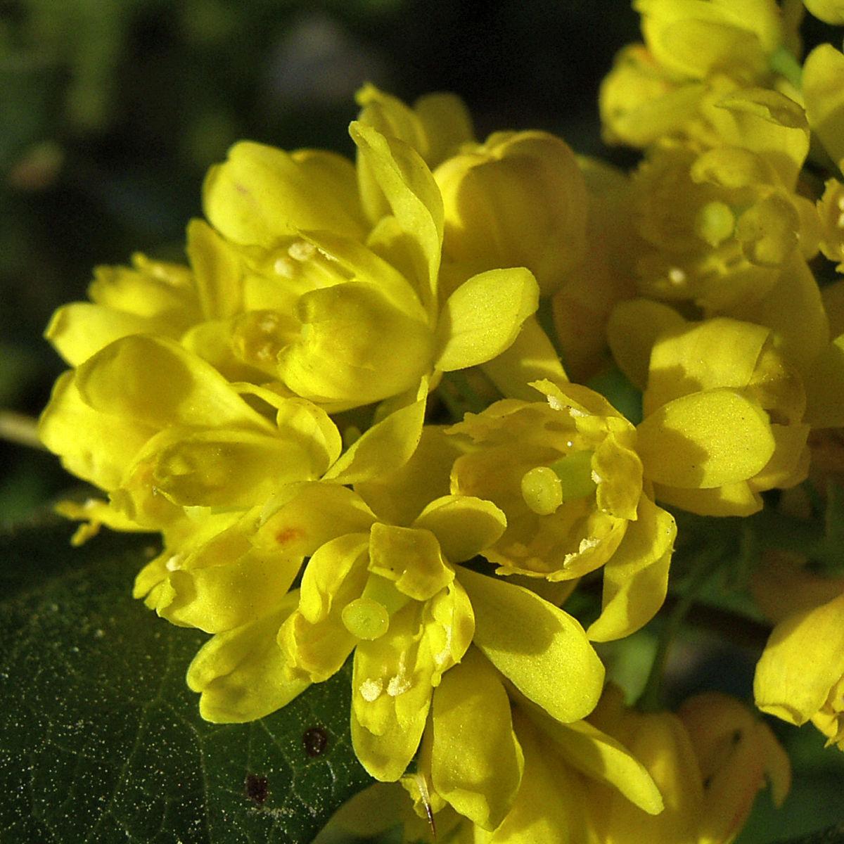 Mahonie Bluete gelb Mahonia aquifolium