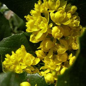 Mahonie Bluete gelb Mahonia aquifolium 03