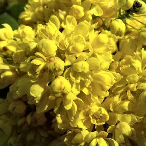 Mahonie Bluete gelb Mahonia aquifolium 04