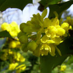 Mahonie Bluete gelb Mahonia aquifolium 05