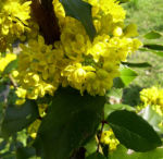 Mahonie Bluete gelb Mahonia aquifolium 07