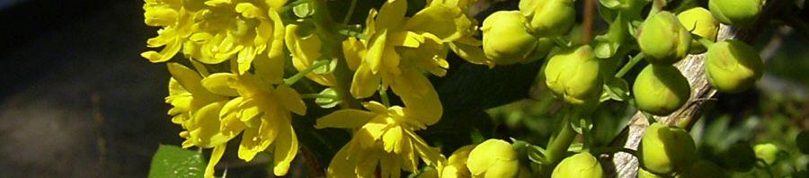 Anklicken um das ganze Bild zu sehen Gewöhnliche Mahonie Blüte gelb Mahonia aquifolium