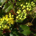 Mahonie Bluete Mahonia aquifolium 03