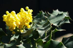 Mahonie Strauch immergruen Blute gelb Mahonia aquifolium 01