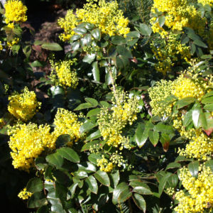 Mahonie Strauch immergruen Blute gelb Mahonia aquifolium 02