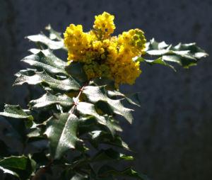 Mahonie Strauch immergruen Blute gelb Mahonia aquifolium 03