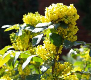 Mahonie Strauch immergruen Blute gelb Mahonia aquifolium 04