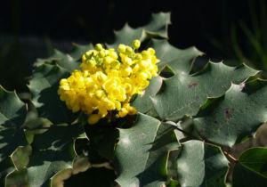 Mahonie Strauch immergruen Blute gelb Mahonia aquifolium 05