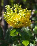 Mahonie Strauch immergruen Blute gelb Mahonia aquifolium 06