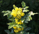 Bild: Gewöhnliche Mahonie Blüte gelb Mahonia aquifolium
