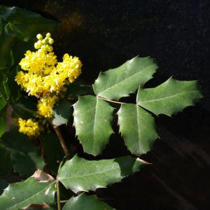 Mahonie Strauch immergruen Blute gelb Mahonia aquifolium 08