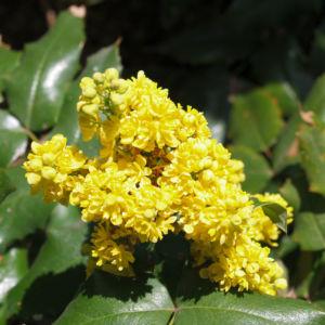 Mahonie Strauch immergruen Blute gelb Mahonia aquifolium 09
