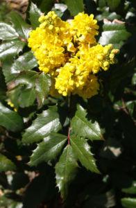 Mahonie Strauch immergruen Blute gelb Mahonia aquifolium 11