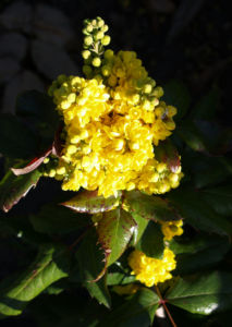 Mahonie Strauch immergruen Blute gelb Mahonia aquifolium 12