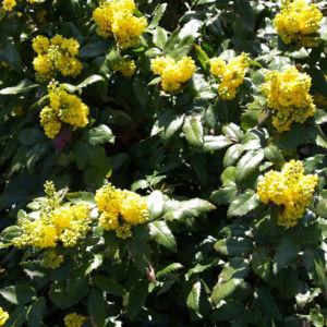 Mahonie Strauch immergruen Blute gelb Mahonia aquifolium 13