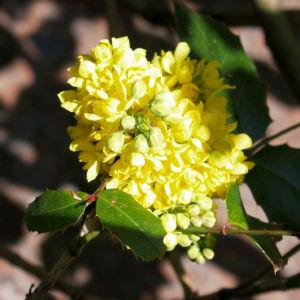 Mahonie Strauch immergruen Blute gelb Mahonia aquifolium 14