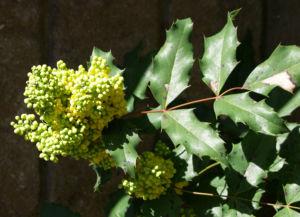 Mahonie Strauch immergruen Blute gelb Mahonia aquifolium 15