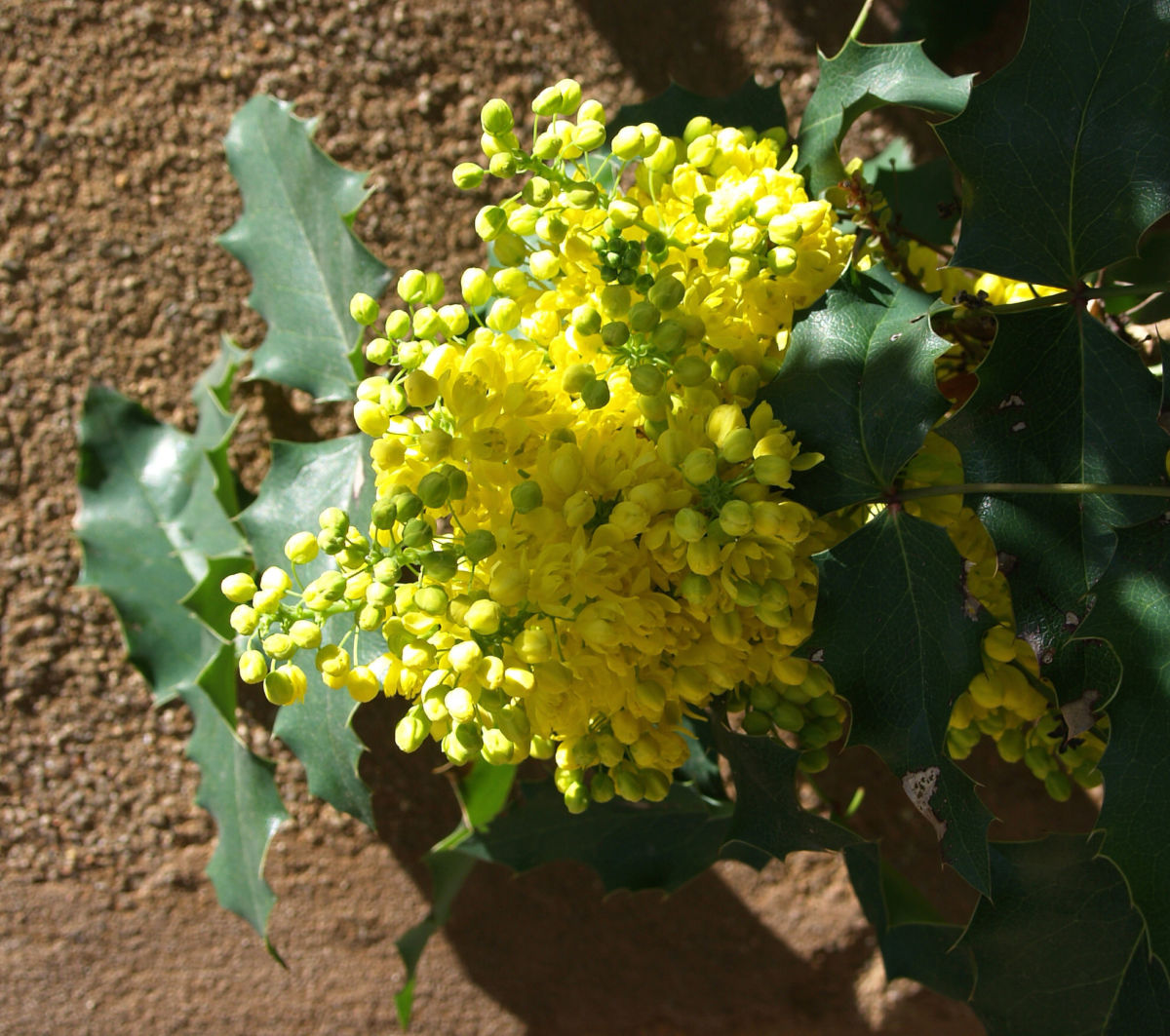 Mahonie Strauch immergruen Blute gelb Mahonia aquifolium