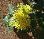 Mahonie Strauch immergruen Blute gelb Mahonia aquifolium 16