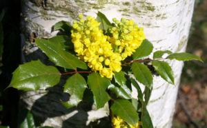 Mahonie Strauch immergruen Blute gelb Mahonia aquifolium 17