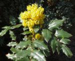 Mahonie Strauch immergruen Blute gelb Mahonia aquifolium 18