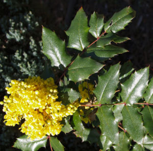 Bild: Mahonie Strauch immergruen Blute gelb Mahonia aquifolium