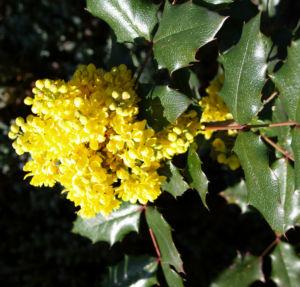 Mahonie Strauch immergruen Blute gelb Mahonia aquifolium 20