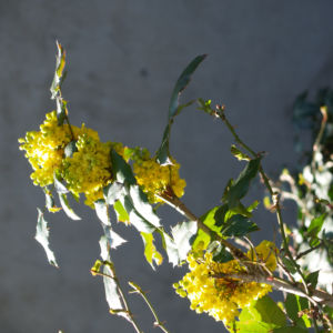 Mahonie Strauch immergruen Blute gelb Mahonia aquifolium 21
