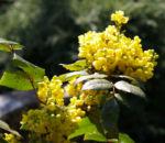 Mahonie Strauch immergruen Blute gelb Mahonia aquifolium 22