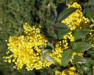 Mahonie Strauch immergruen Blute gelb Mahonia aquifolium 23