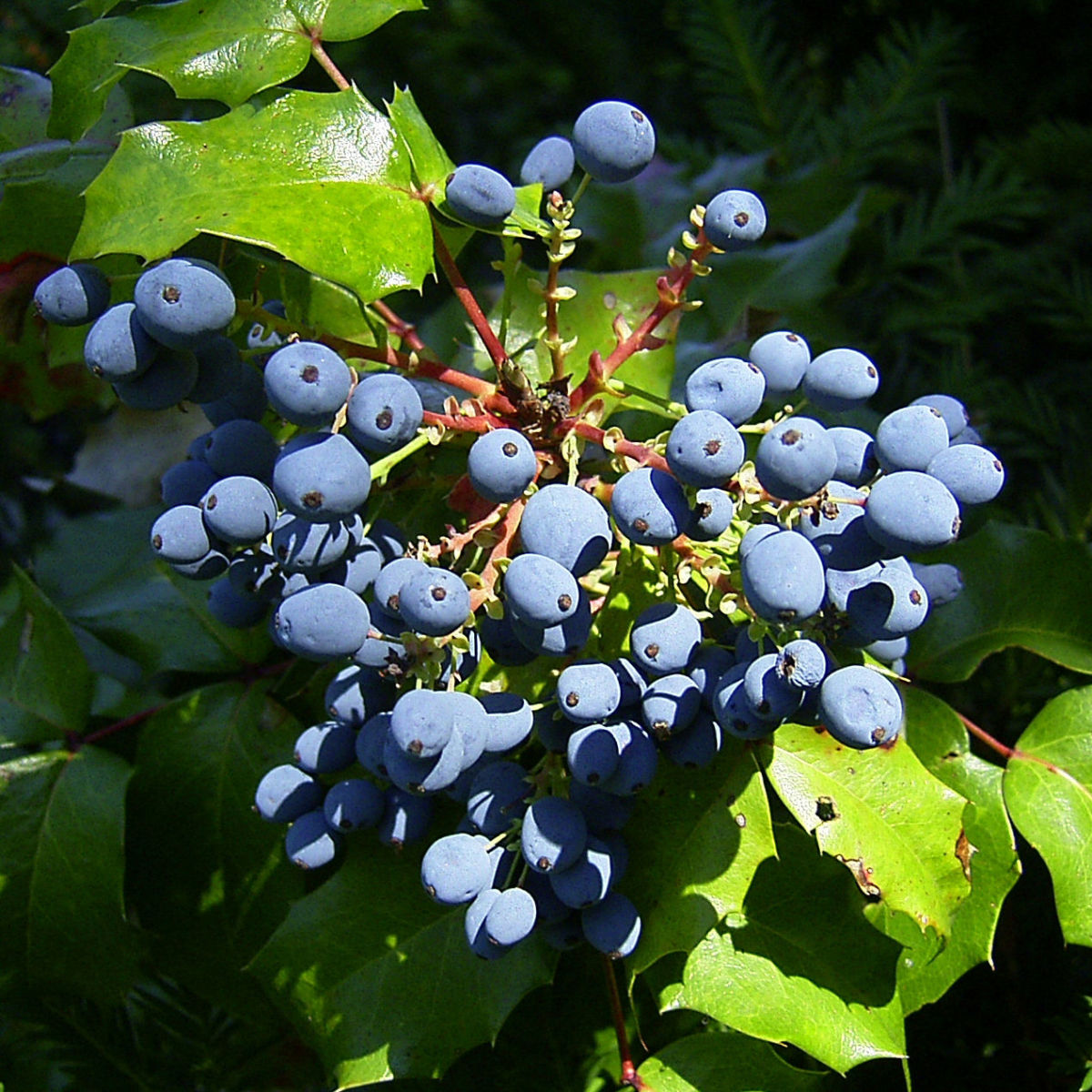 Mahonie blaue Beeren Mahonia