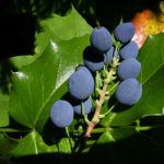 Mahonie blaue Beeren Mahonia 03