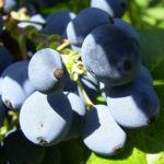 Bild: Mahonie Frucht blau Mahonia
