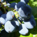 Zurück zum kompletten Bilderset Mahonie Frucht blau Mahonia