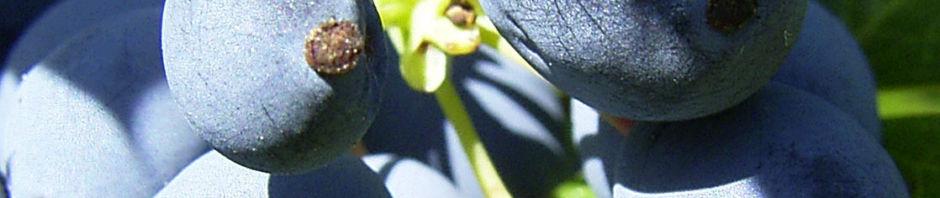 mahonie-frucht-blau-mahonia
