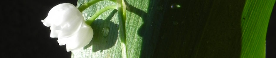 maigloeckchen-bluete-weiss-convallaria-majalis