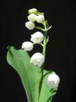 Bild: Maiglöckchen Blüte weiß Convallaria majalis