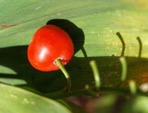 Maigloeckchen Frucht rot Convallaria majalis 01