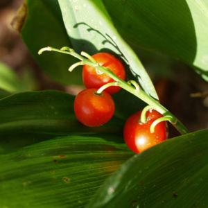 Maigloeckchen Frucht rot Convallaria majalis 03