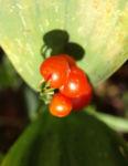 Maigloeckchen Frucht rot Convallaria majalis 04