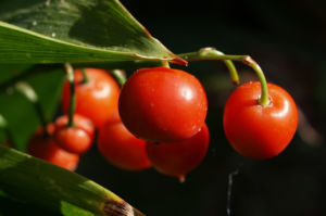 Maigloeckchen Frucht rot Convallaria majalis 05