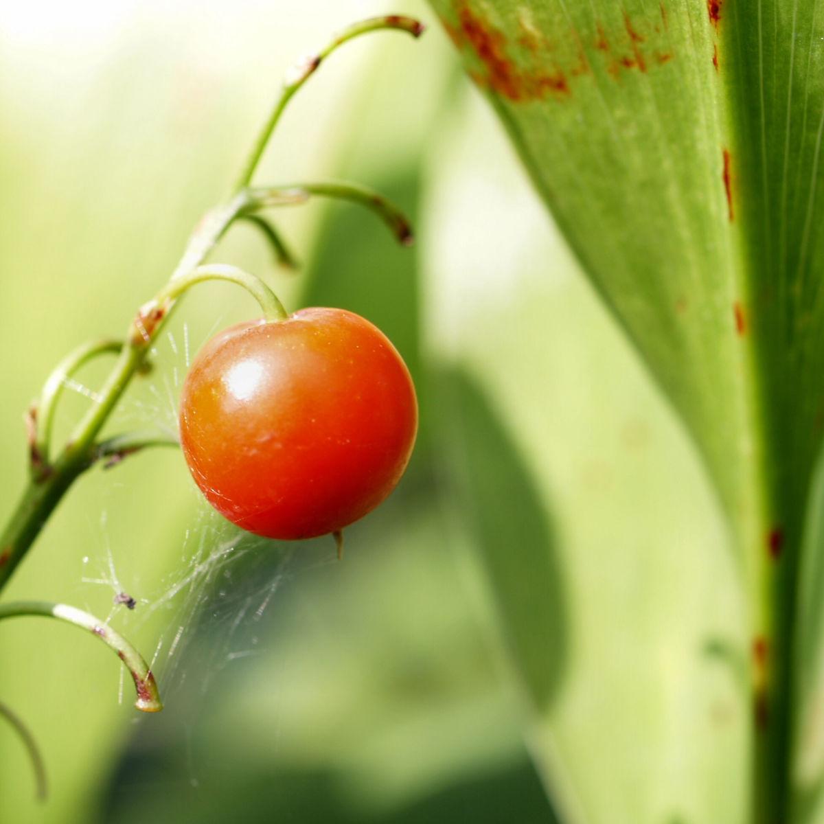Maigloeckchen Frucht rot Convallaria majalis