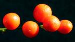 Maigloeckchen Fruechte rote Beeren Convallaria majalis 02