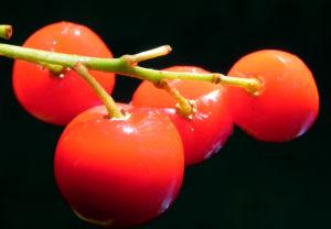 Maigloeckchen Fruechte rote Beeren Convallaria majalis 05